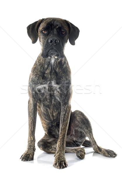 итальянский дог белый собака молодые женщины Сток-фото © cynoclub