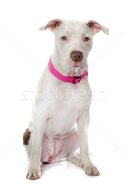 Stock photo: young pitbull terrier