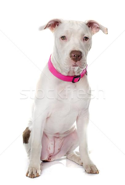 Fiatal pitbull terrier amerikai fehér állat Stock fotó © cynoclub