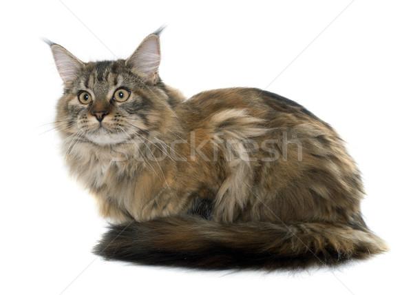 Мэн кошки белый женщины животного Сток-фото © cynoclub