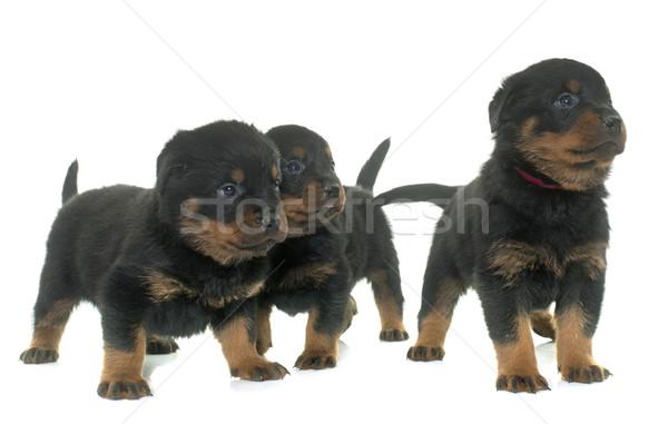 Jonge puppies rottweiler witte groep dier Stockfoto © cynoclub