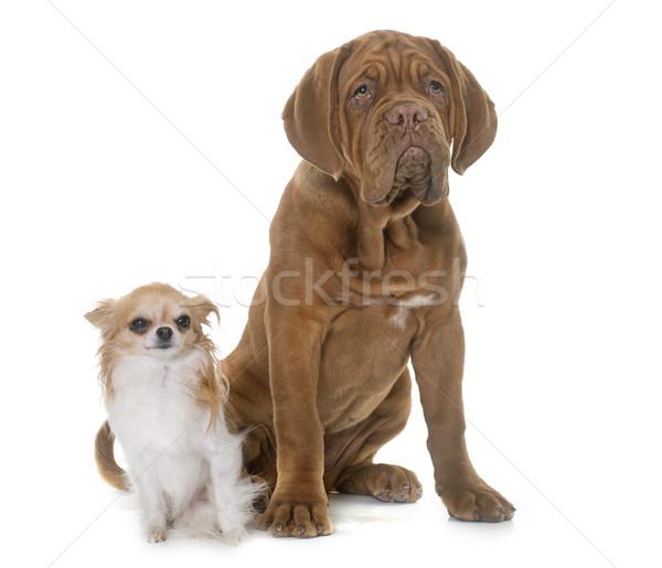 Puppy bulhond hond huisdier Frankrijk Stockfoto © cynoclub