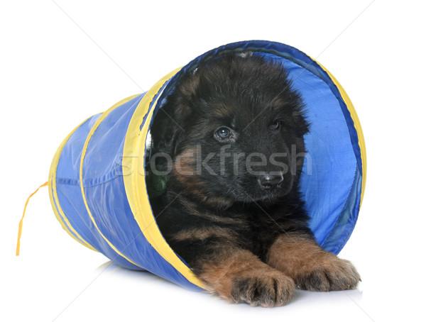 子犬 羊飼い トンネル 白 訓練 ストックフォト © cynoclub