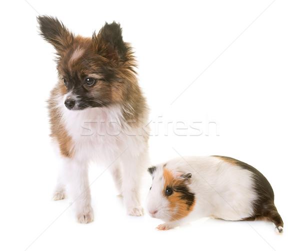 Сток-фото: щенков · собака · морская · свинка · студию · играет · ПЭТ
