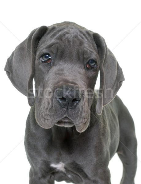Stock photo: puppy great dane