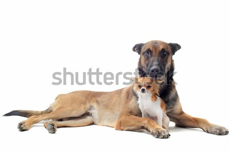 puppy chihuahua and malinois Stock photo © cynoclub