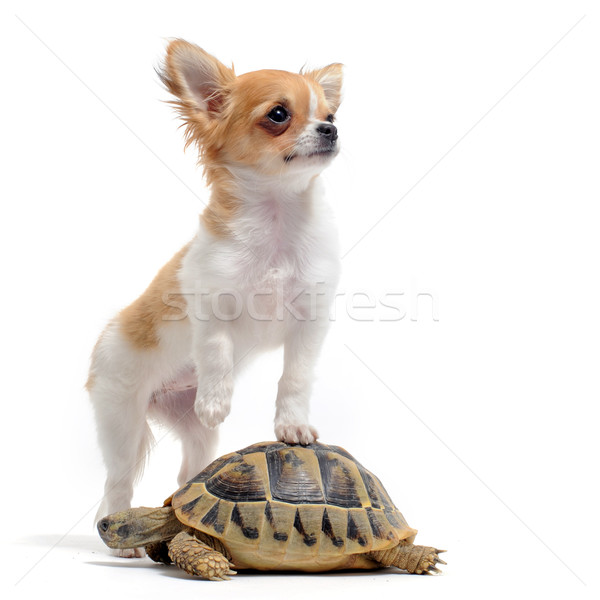 puppy chihuahua and turtle Stock photo © cynoclub