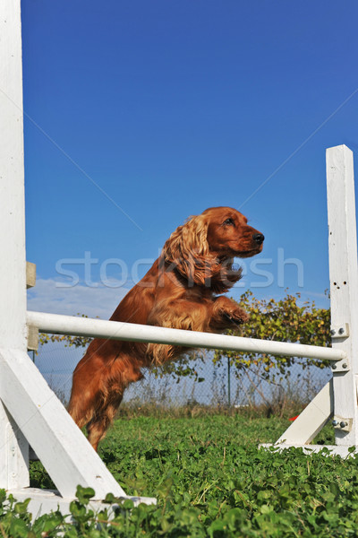 cocker spaniel in agility Stock photo © cynoclub