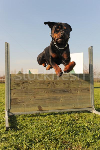 Atlama rottweiler eğitim itaat gökyüzü Stok fotoğraf © cynoclub