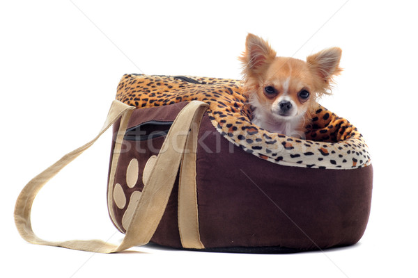 Stock photo: travel bag and chihuahua