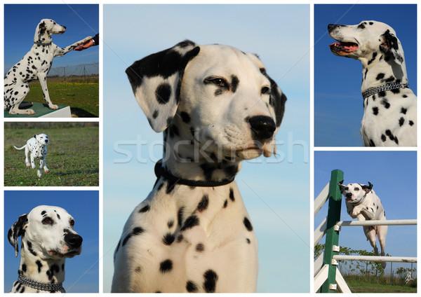 Dalmatyński zdjęcie psów szczeniąt Zdjęcia stock © cynoclub