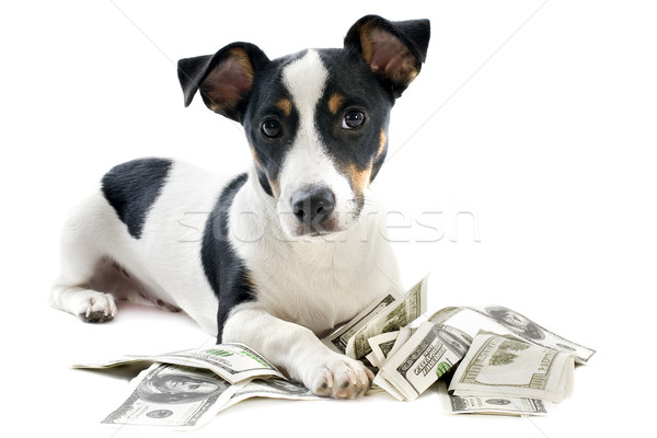 Stock photo: jack russel terrier with dollars