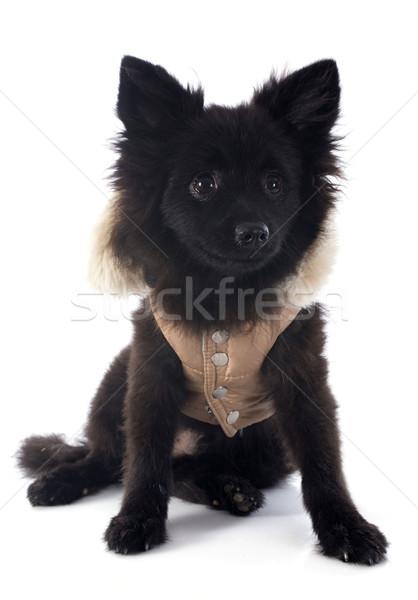 puppy spitz Stock photo © cynoclub