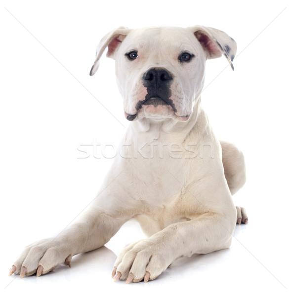 щенков Американский бульдог белый животного бульдог белом фоне Сток-фото © cynoclub