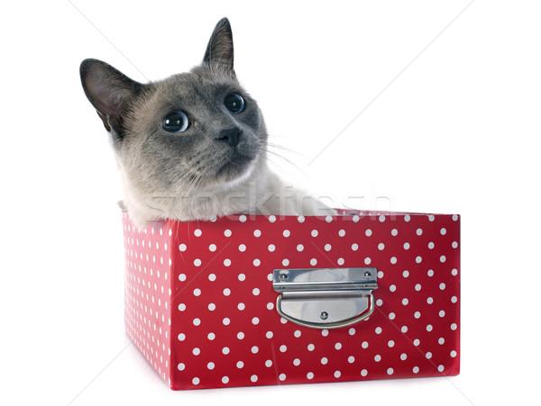 Sziámi macska doboz gyönyörű fajtiszta fehér macska Stock fotó © cynoclub