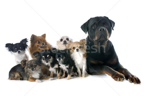 Rottweiler kicsi kutyák fajtiszta fehér csoport Stock fotó © cynoclub
