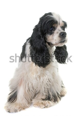 Terrier branco cão preto animal estúdio Foto stock © cynoclub