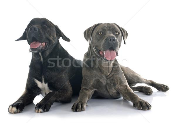 イタリア語 マスチフ 白 犬 黒 男性 ストックフォト © cynoclub