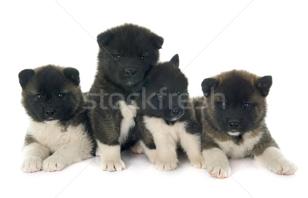 american akita puppies Stock photo © cynoclub