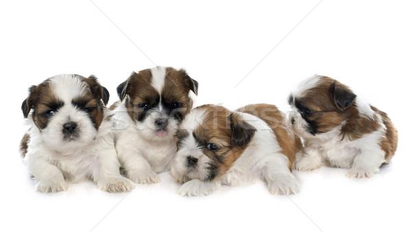 Négy kiskutyák kutyakölyök díszállat izolált Stock fotó © cynoclub