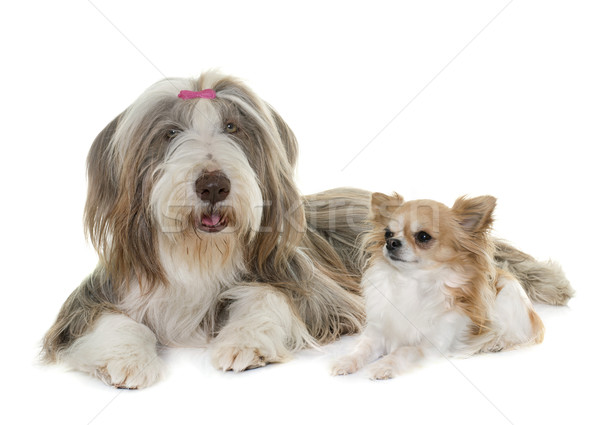 female bearded collie and chihuahua Stock photo © cynoclub