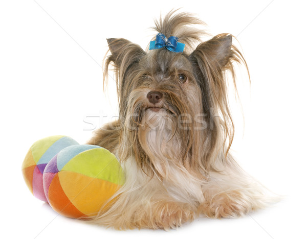 Foto stock: Cachorro · yorkshire · terrier · blanco · perro · pelota
