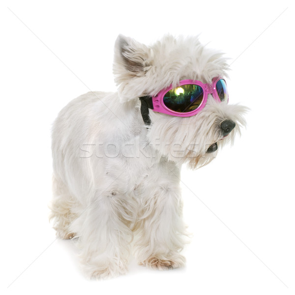Foto stock: Ocidente · branco · terrier · adulto · estúdio · cão