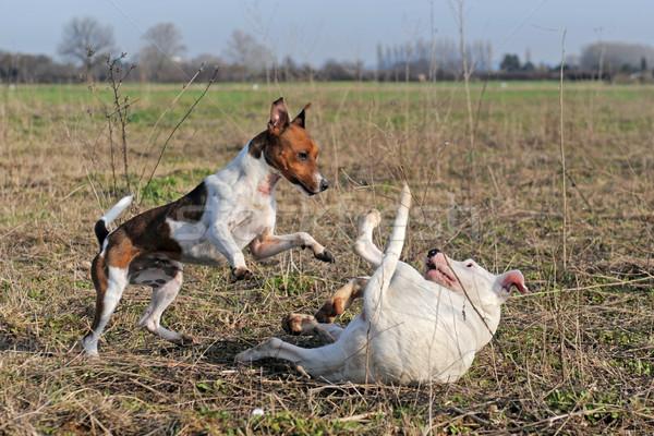 playing dogs Stock photo © cynoclub