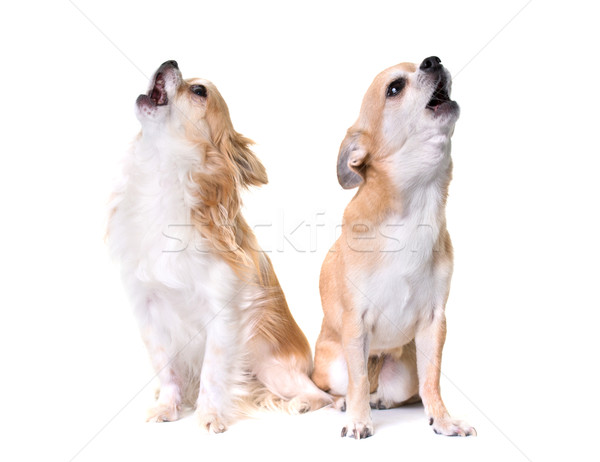 two chihuahuas howling Stock photo © cynoclub