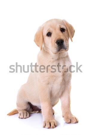 щенков Лабрадор ретривер белый собака молодые ПЭТ Сток-фото © cynoclub