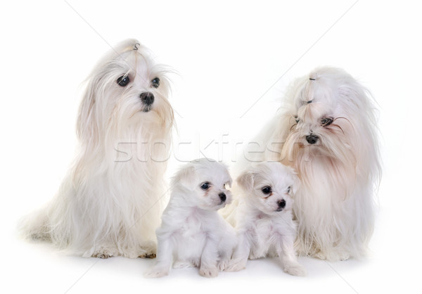 family maltese dogs Stock photo © cynoclub