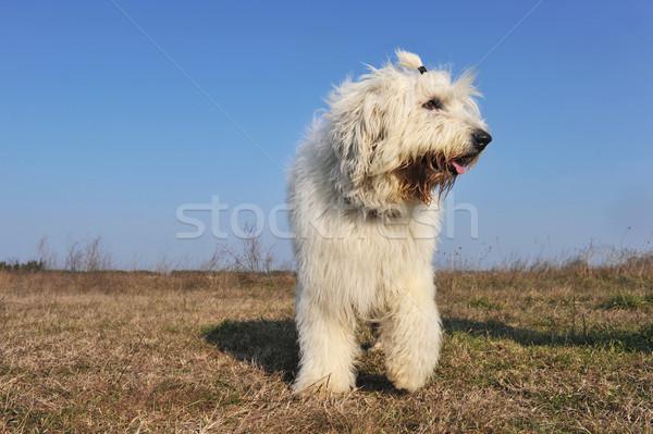 Eski İngilizce çoban köpeği gökyüzü köpek Stok fotoğraf © cynoclub