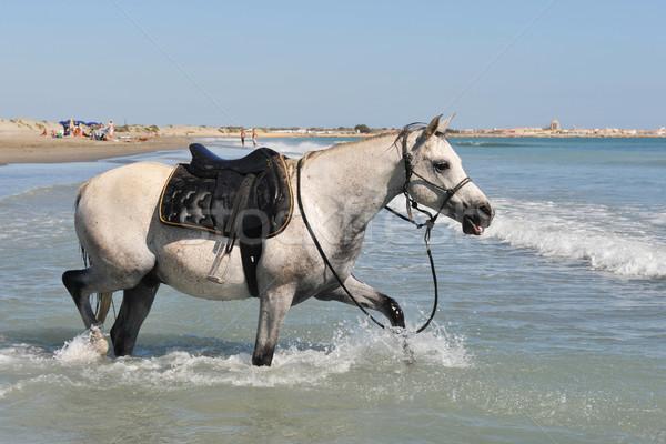 Arabski konia portret morza lata Zdjęcia stock © cynoclub