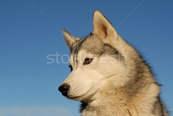 ハスキー 肖像 美しい 青空 犬 ストックフォト © cynoclub