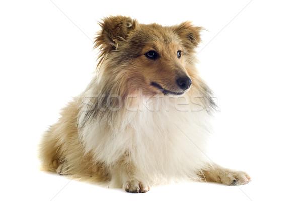 shetland dog Stock photo © cynoclub