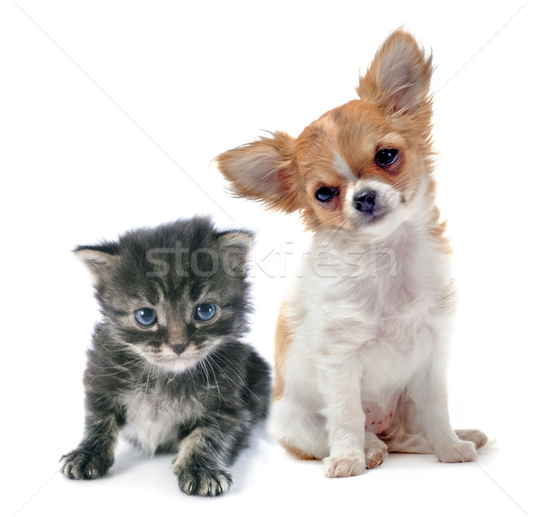 Stock photo: puppy chihuahua and kitten