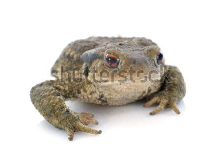 brown toad Stock photo © cynoclub