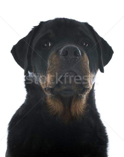 Rottweiler portré fajtiszta kutyakölyök fehér fekete Stock fotó © cynoclub