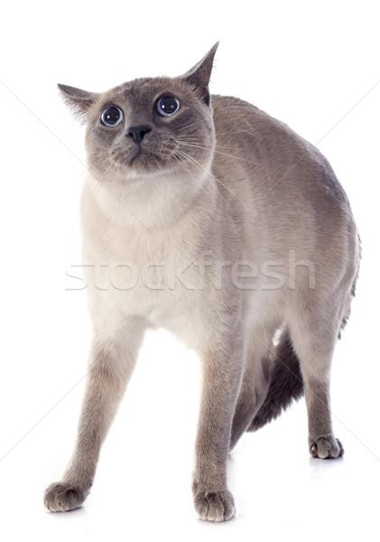 シャム猫 白 猫 青 ストックフォト © cynoclub