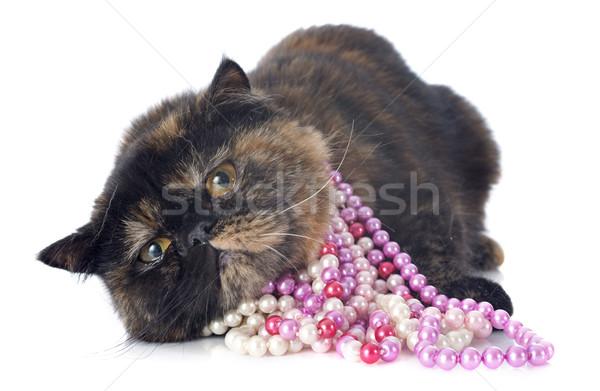 exotic shorthair cat Stock photo © cynoclub