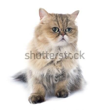 Perzische kat witte kat studio kitten huisdier Stockfoto © cynoclub