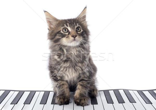 メイン州 子猫 白 猫 スタジオ 演奏 ストックフォト © cynoclub