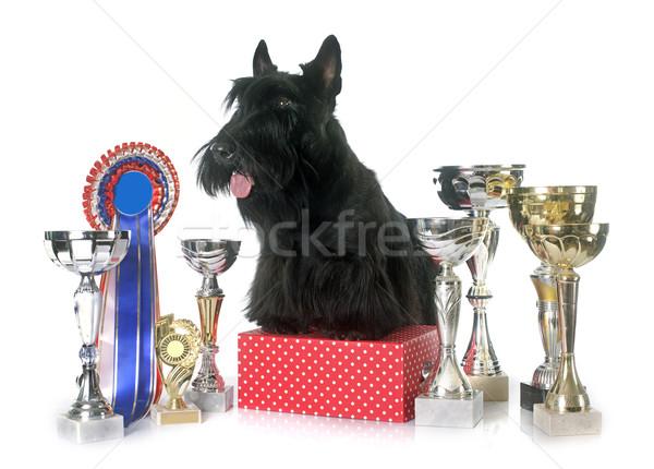 テリア トロフィー 白 犬 を見る ペット ストックフォト © cynoclub