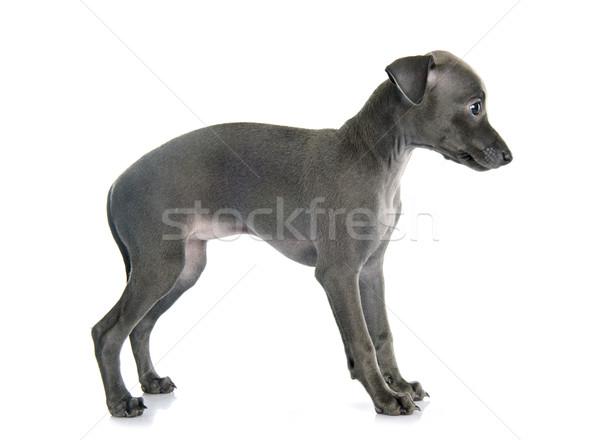 Cachorro italiano galgo branco azul triste Foto stock © cynoclub