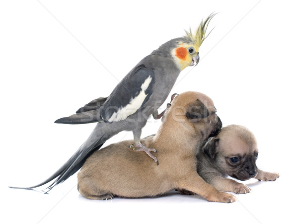 young puppies chihuahua and cockatiel Stock photo © cynoclub