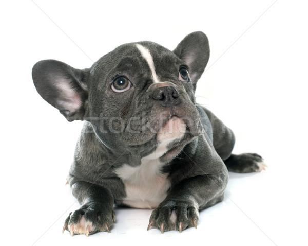 子犬 フランス語 ブルドッグ 白 スタジオ ストックフォト © cynoclub