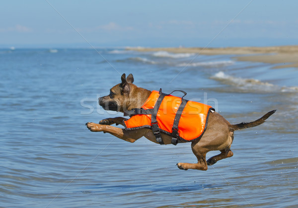 staffie on beach Stock photo © cynoclub