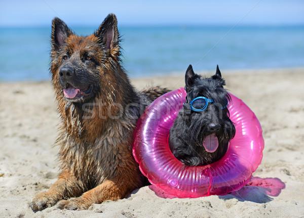 dogs on the beach Stock photo © cynoclub