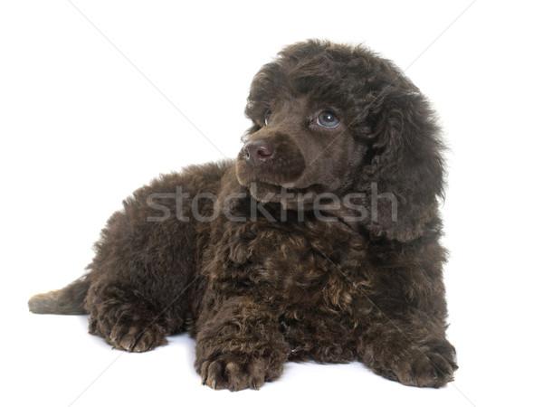 щенков коричневый пудель белый собака волос Сток-фото © cynoclub