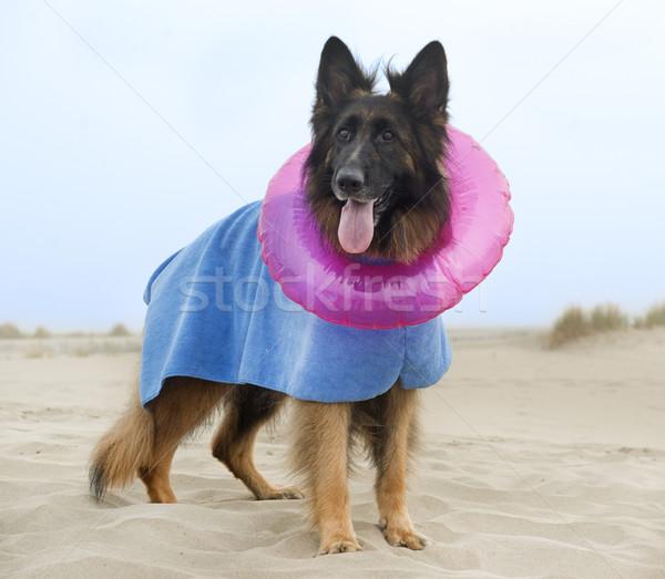 пастух пляж халат резиновые кольца собака Сток-фото © cynoclub